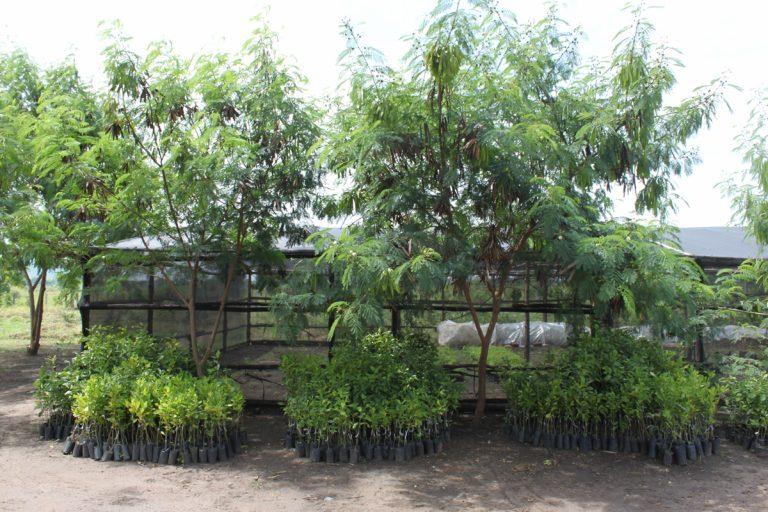 Luecaena, fast growing nitrogen fixing tree
