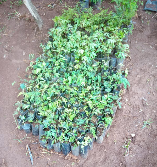trees for agro forestry