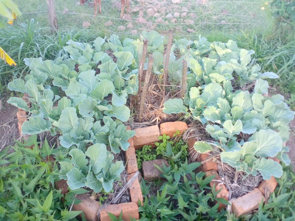 Key hole bed with cabbage Kenya