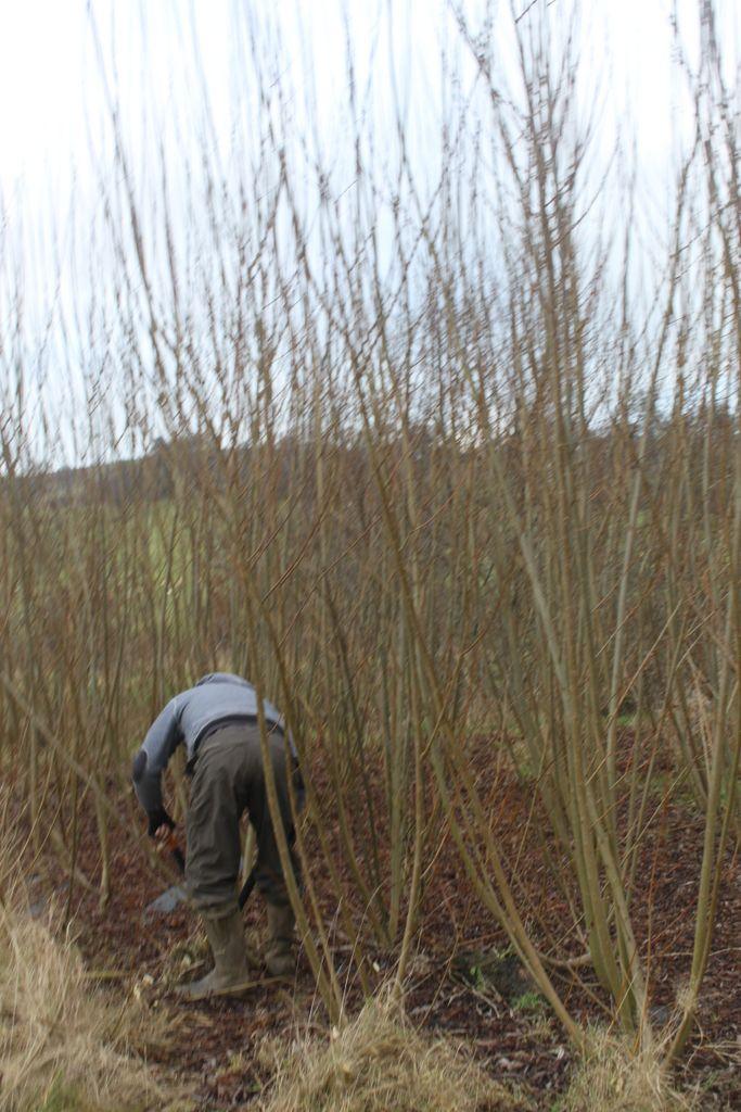 Salix Viminalis planted April 2019
